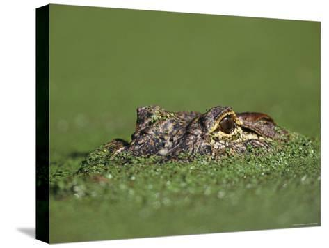 A Female Nile Crocodile Carries Her Newly Hatched Babies in Her Mouth-Jonathan Blair-Stretched Canvas Print