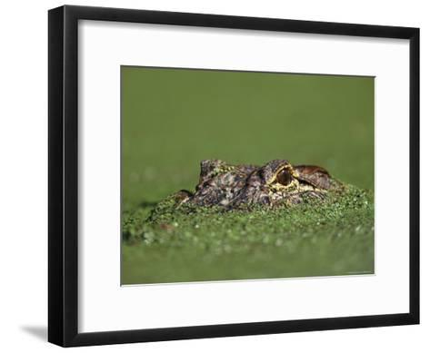 A Female Nile Crocodile Carries Her Newly Hatched Babies in Her Mouth-Jonathan Blair-Framed Art Print