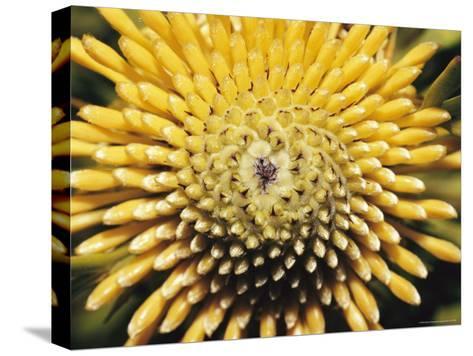 A Close View of a Drumstick Flower, Isopogon Anenonifolius-Jason Edwards-Stretched Canvas Print