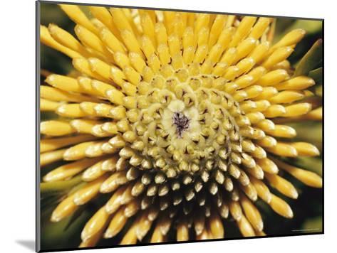 A Close View of a Drumstick Flower, Isopogon Anenonifolius-Jason Edwards-Mounted Photographic Print