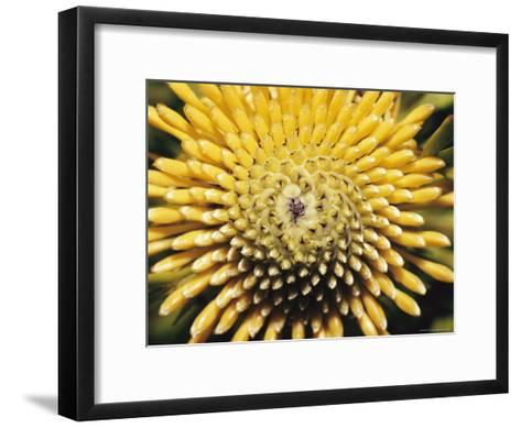 A Close View of a Drumstick Flower, Isopogon Anenonifolius-Jason Edwards-Framed Art Print