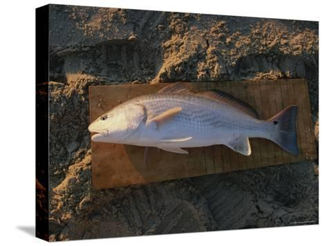 A Red Drum Caught While Surf Fishing on the Outer Banks-Stephen Alvarez-Stretched Canvas Print