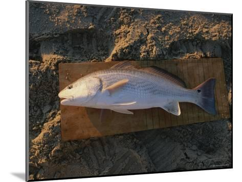 A Red Drum Caught While Surf Fishing on the Outer Banks-Stephen Alvarez-Mounted Photographic Print