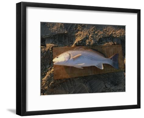 A Red Drum Caught While Surf Fishing on the Outer Banks-Stephen Alvarez-Framed Art Print