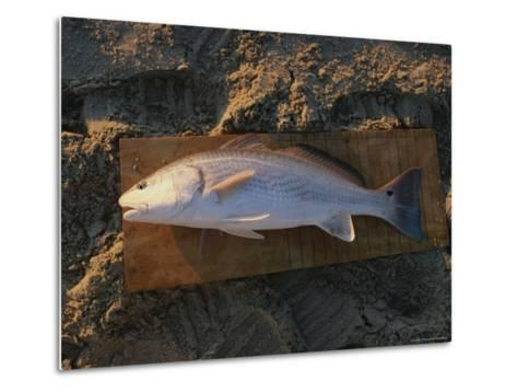 A Red Drum Caught While Surf Fishing on the Outer Banks-Stephen Alvarez-Metal Print