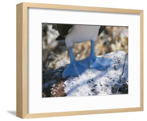 The Feet of a Blue Footed Booby Bird on Espanola Island-Gina Martin-Framed Art Print
