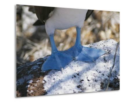 The Feet of a Blue Footed Booby Bird on Espanola Island-Gina Martin-Metal Print