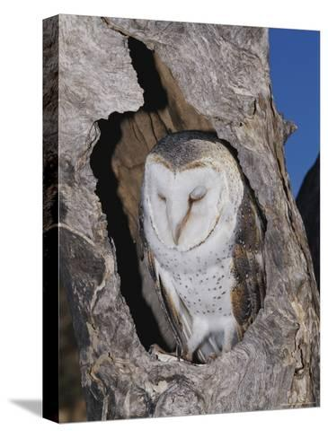 A Barn Owl Resting in its Roost in a Hollow Tree-Jason Edwards-Stretched Canvas Print