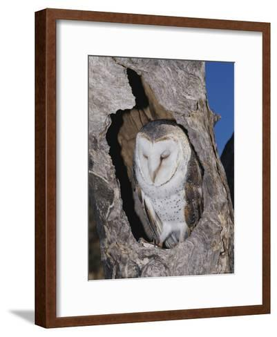 A Barn Owl Resting in its Roost in a Hollow Tree-Jason Edwards-Framed Art Print