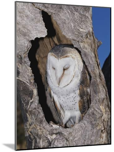 A Barn Owl Resting in its Roost in a Hollow Tree-Jason Edwards-Mounted Photographic Print