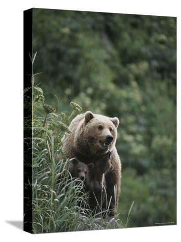 A Brown Bear Sow with Her Twin Cubs--Stretched Canvas Print