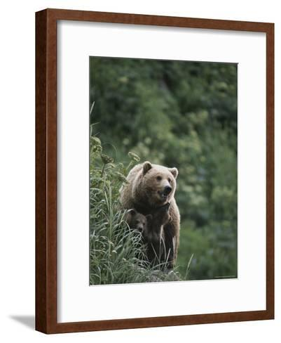 A Brown Bear Sow with Her Twin Cubs--Framed Art Print