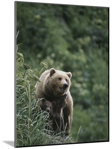 A Brown Bear Sow with Her Twin Cubs--Mounted Photographic Print