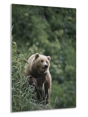 A Brown Bear Sow with Her Twin Cubs--Metal Print