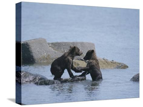 Brown Bear Cubs Playing on a Rocky Shore--Stretched Canvas Print