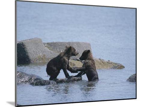 Brown Bear Cubs Playing on a Rocky Shore--Mounted Photographic Print