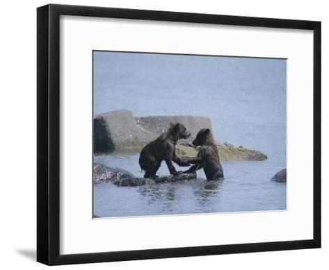 Brown Bear Cubs Playing on a Rocky Shore--Framed Art Print