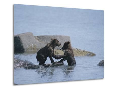 Brown Bear Cubs Playing on a Rocky Shore--Metal Print