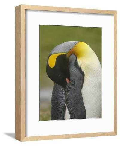 A King Penguin with Bill Tucked under Wing Taking a Nap--Framed Art Print