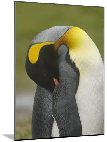 A King Penguin with Bill Tucked under Wing Taking a Nap--Mounted Photographic Print