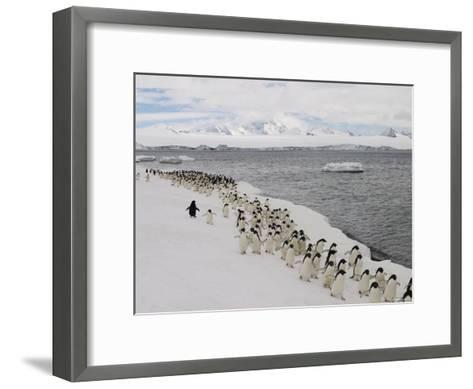 A Group of Adelie Penguins Walking Along the Waters Edge-Ralph Lee Hopkins-Framed Art Print