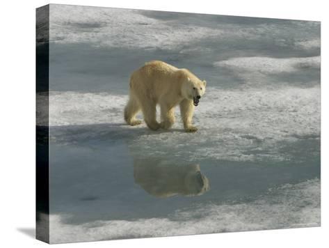 A Polar Bear Walks Across the Pack Ice of Svalbard Archipelago-Ralph Lee Hopkins-Stretched Canvas Print