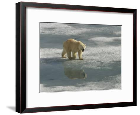 A Polar Bear Walks Across the Pack Ice of Svalbard Archipelago-Ralph Lee Hopkins-Framed Art Print