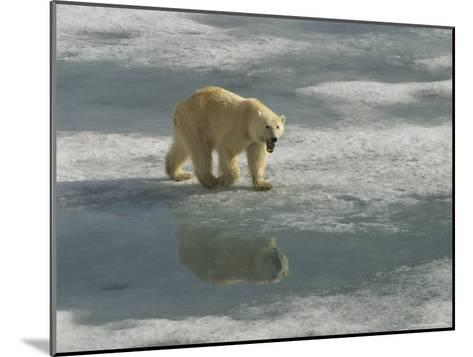 A Polar Bear Walks Across the Pack Ice of Svalbard Archipelago-Ralph Lee Hopkins-Mounted Photographic Print