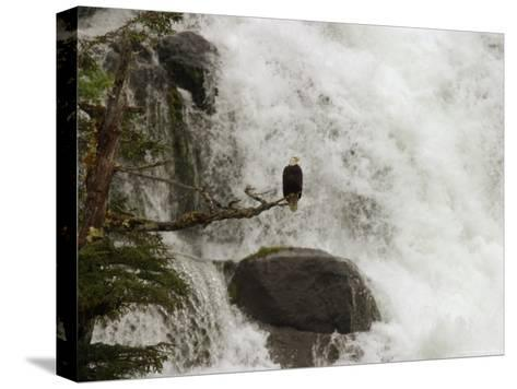 A Bald Eagle Perches on a Branch Near a Waterfall, Haliaeetus Leucocephalus--Stretched Canvas Print