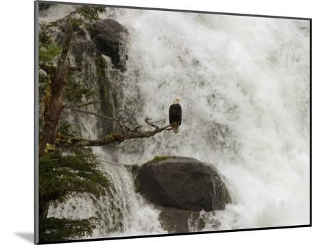 A Bald Eagle Perches on a Branch Near a Waterfall, Haliaeetus Leucocephalus--Mounted Photographic Print