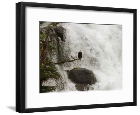 A Bald Eagle Perches on a Branch Near a Waterfall, Haliaeetus Leucocephalus--Framed Art Print