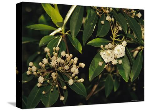 Mountain Laurel in Bloom in Early Morning Light--Stretched Canvas Print