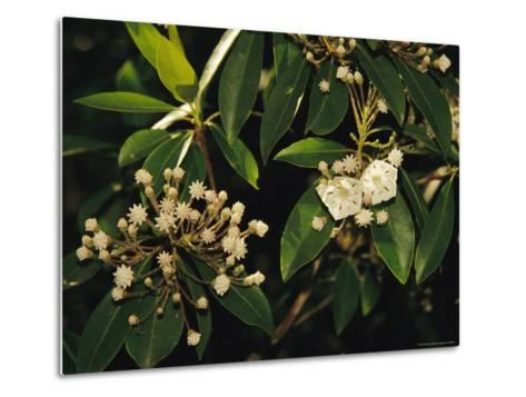 Mountain Laurel in Bloom in Early Morning Light--Metal Print