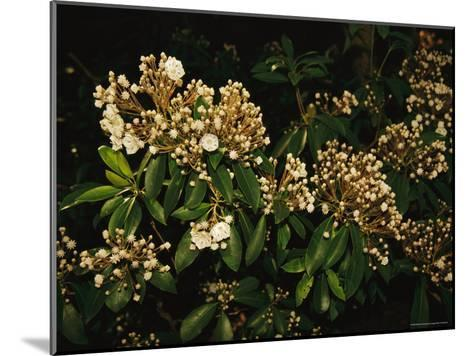 Mountain Laurel in Bloom in Early Morning Light--Mounted Photographic Print
