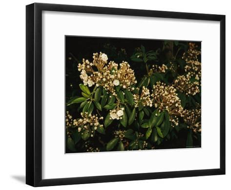 Mountain Laurel in Bloom in Early Morning Light--Framed Art Print