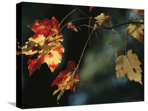 Pine Needles Caught on an Autumn-Colored Maple Leaf-Raymond Gehman-Stretched Canvas Print