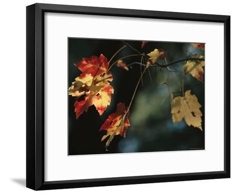 Pine Needles Caught on an Autumn-Colored Maple Leaf-Raymond Gehman-Framed Art Print