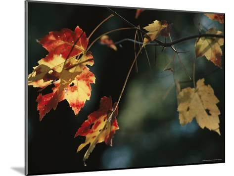 Pine Needles Caught on an Autumn-Colored Maple Leaf-Raymond Gehman-Mounted Photographic Print