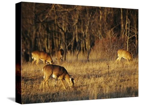 White-Tailed Deer Eating in a Meadow-Raymond Gehman-Stretched Canvas Print