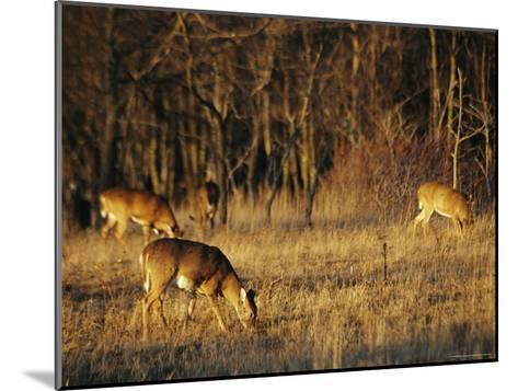 White-Tailed Deer Eating in a Meadow-Raymond Gehman-Mounted Photographic Print
