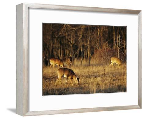 White-Tailed Deer Eating in a Meadow-Raymond Gehman-Framed Art Print