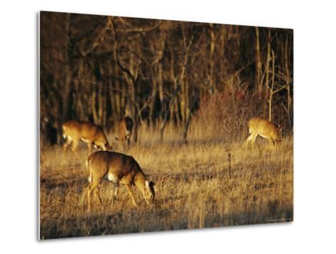 White-Tailed Deer Eating in a Meadow-Raymond Gehman-Metal Print