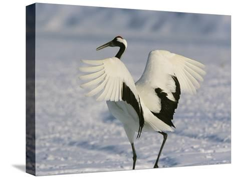 A Japanese or Red Crowned Crane Spreads its Wings in a Dance Display-Tim Laman-Stretched Canvas Print