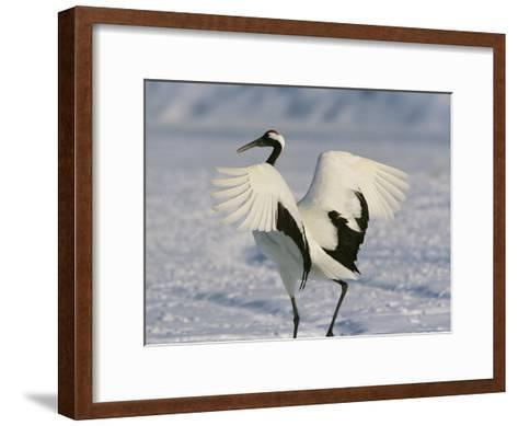 A Japanese or Red Crowned Crane Spreads its Wings in a Dance Display-Tim Laman-Framed Art Print