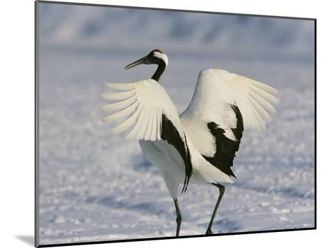A Japanese or Red Crowned Crane Spreads its Wings in a Dance Display-Tim Laman-Mounted Photographic Print