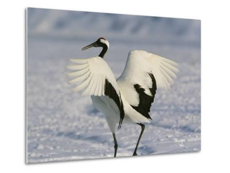 A Japanese or Red Crowned Crane Spreads its Wings in a Dance Display-Tim Laman-Metal Print