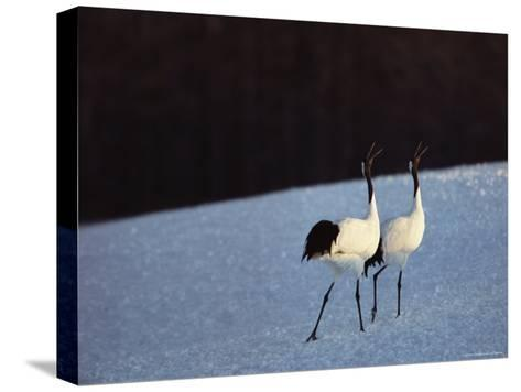 A Pair of Japanese or Red Crowned Cranes Give a Mating Call, Japanese Cranes Mate for Life-Tim Laman-Stretched Canvas Print
