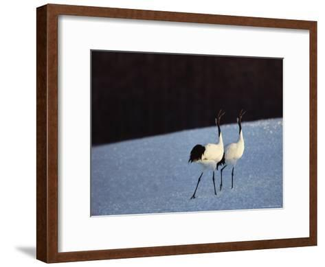A Pair of Japanese or Red Crowned Cranes Give a Mating Call, Japanese Cranes Mate for Life-Tim Laman-Framed Art Print