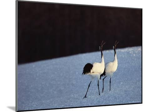 A Pair of Japanese or Red Crowned Cranes Give a Mating Call, Japanese Cranes Mate for Life-Tim Laman-Mounted Photographic Print