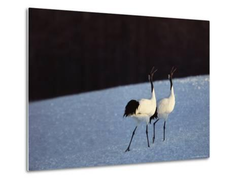 A Pair of Japanese or Red Crowned Cranes Give a Mating Call, Japanese Cranes Mate for Life-Tim Laman-Metal Print